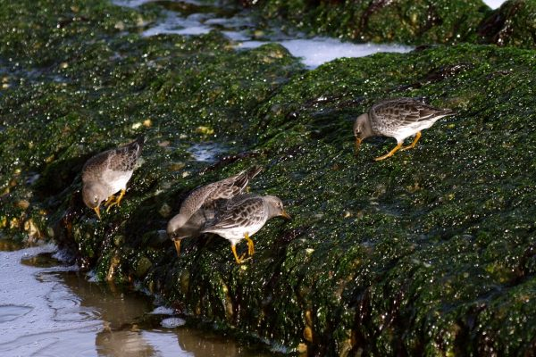 four-purple-sandpipers-foraging-on-seaweed-covered-rock