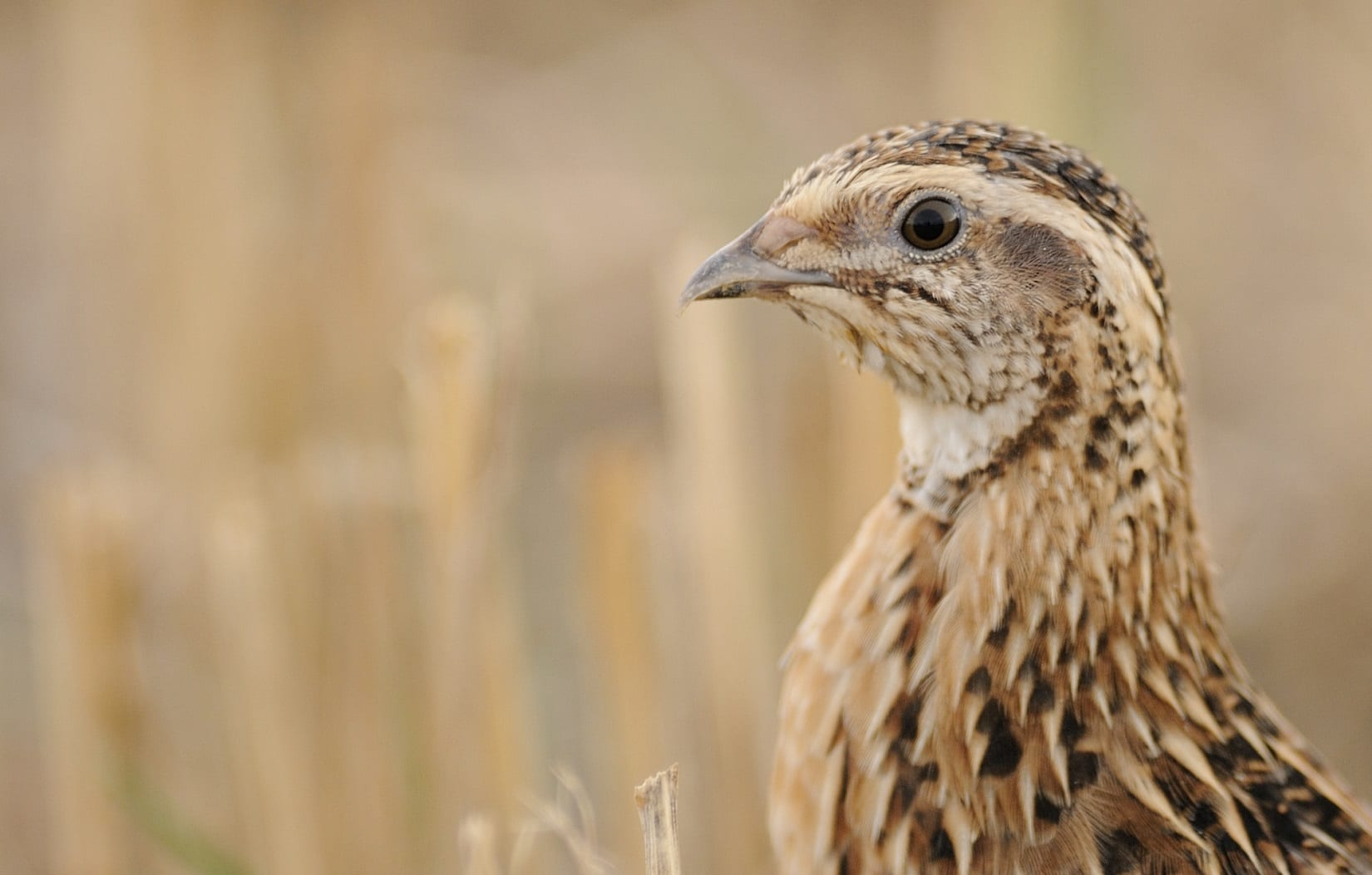 quail-close-up-side-profile