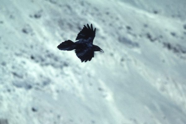 raven-in-flight-snow-covered-hill-background