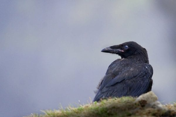 raven-standing-on-grass-at-cliffs-of-moher