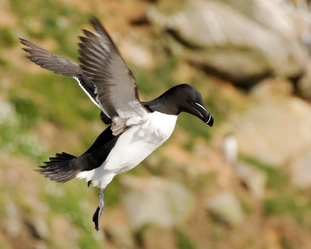 razorbill-in-flight-descending