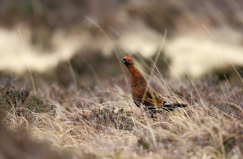 red-grouse-in-heathland-heather-background