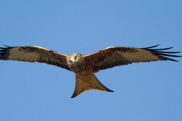red-kite-in-flight-blue-sky-background