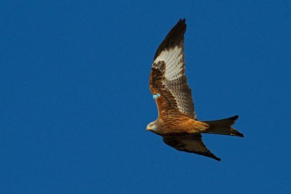 red-kite-flying-left-blue-sky-background