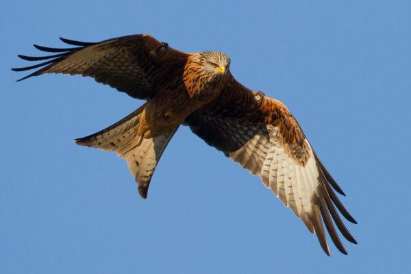 red-kite-in-flight-looking-towards-ground