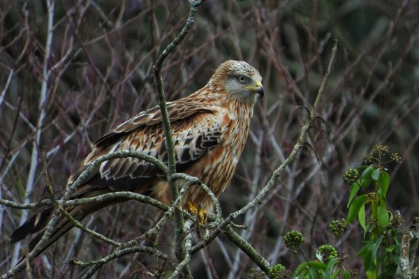 red-kite-perched-on-branch