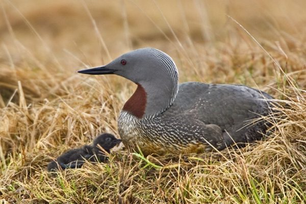 Red-throated-Diver-with-chick-and-egg