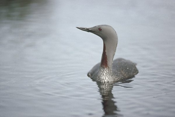 Red-throated-diver-adult-Summer-plumage-swimming-
