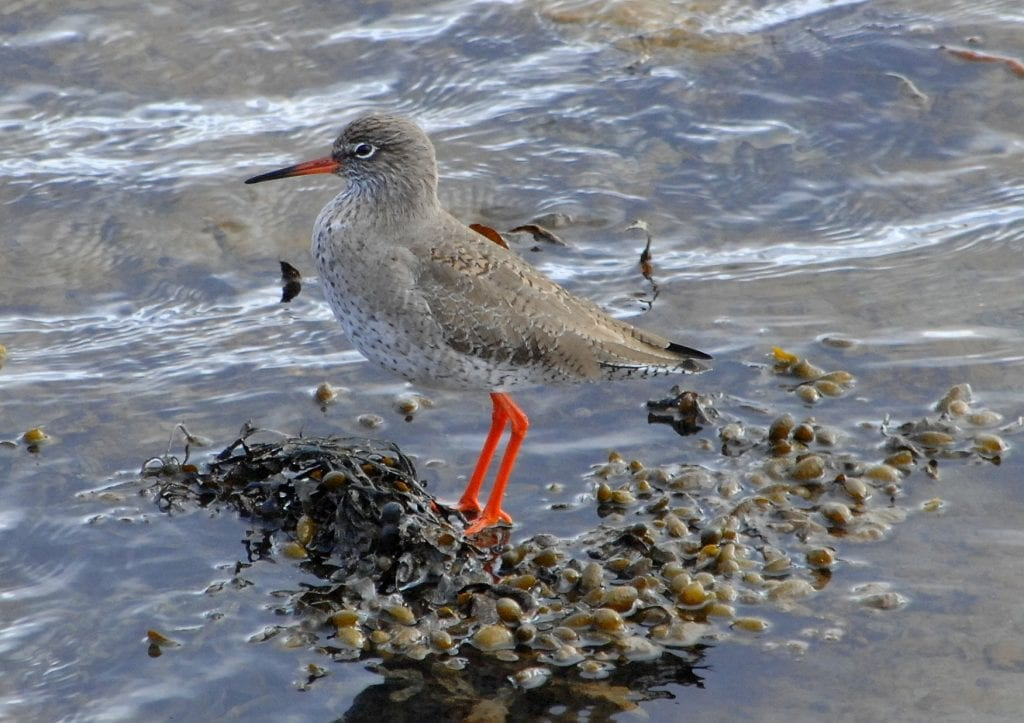 Redshank-by-shore