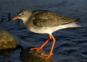 redshank-standing-on-rock-in-water