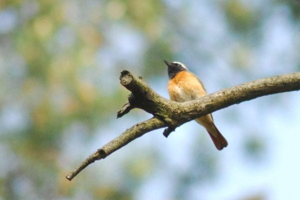 redstart-perched-in-tree