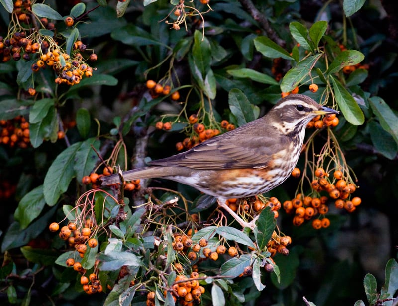 redwing-standing-on-branch-with-orange-berries