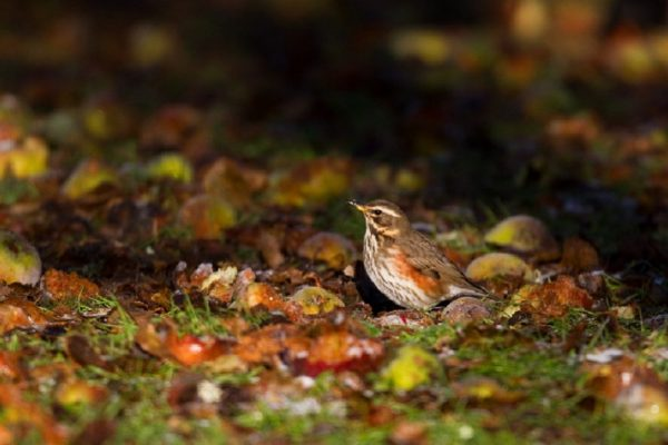 redwing-standing-in-orchard-with-apples-on-ground