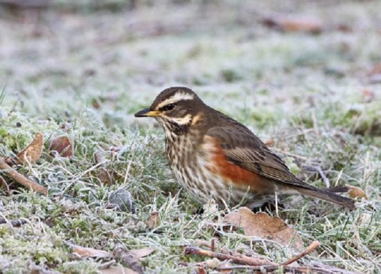redwing-standing-in-icy-field