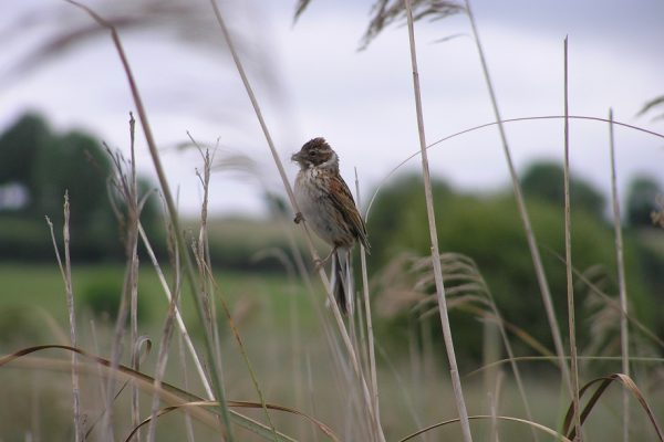 reed-bunting-perched-in-reeds-trees-background