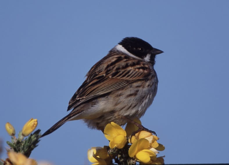 male-reed-bunting-perched-on-top-of-gorse