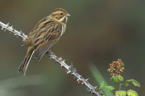 female-reed-bunting-perched-on-bramble