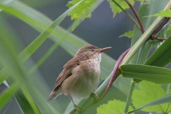 reed-warbler-perched-on-vines
