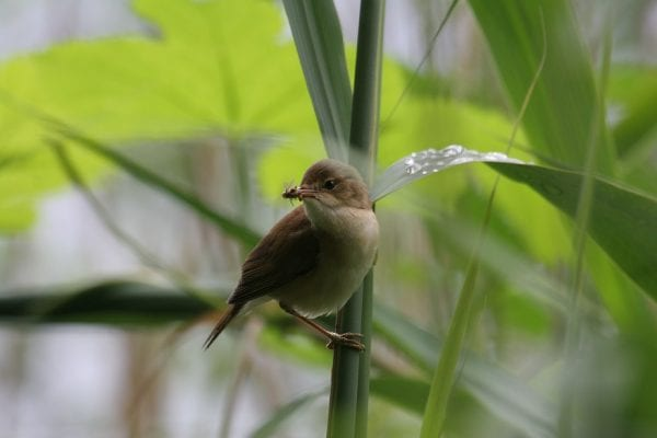 reed-warbler-perched-on-tall-grass-with-insect-prey