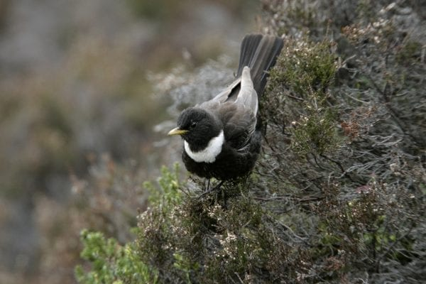 male-ring-ouzel-descending-through-heather