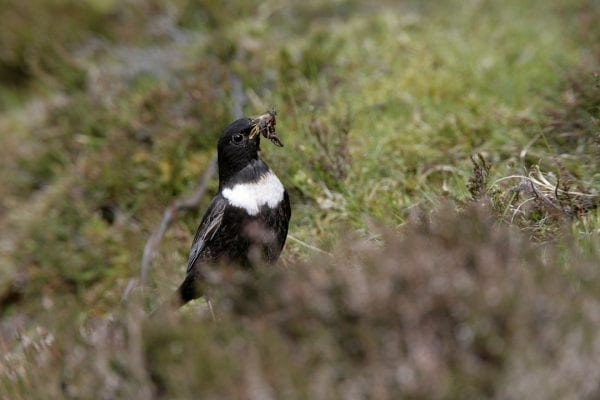 ring-ouzel-with-worms-prey-in-beak