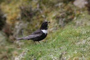 ring-ouzel-standing-on-grass-bank-with-worms-in-beak