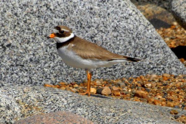 Ringed-plover-on rocks