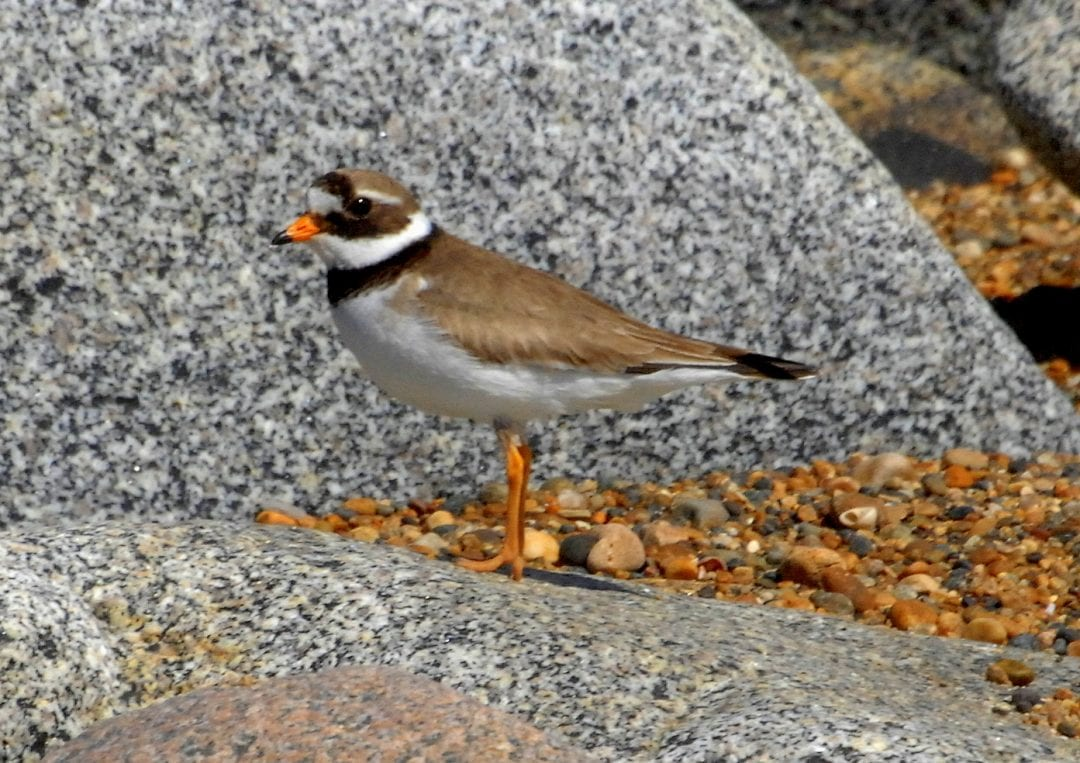 Ringed-plover-on rocks
