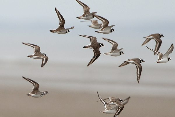 a-number-of-ringed-plover-in-flight
