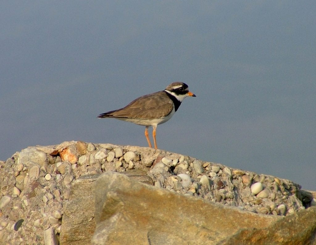 ringed-plover-standing-rock