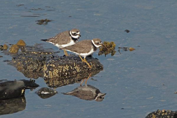 two-ringed-plover-on-rock-surrounded-by-water