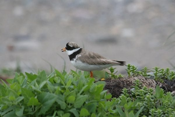 ringed-plover-standing-in-herbs