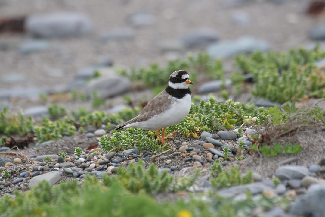ringed-plover-standing-on-shore