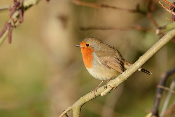 Robin-perching-on-a-branch-looking-left
