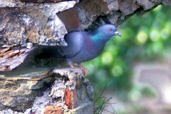 Stock dove  Copyright photograph: Richard Mills, Castleview, Macroom. Co. Cork. Ireland. birdpics@newsguy.com 086-8263890