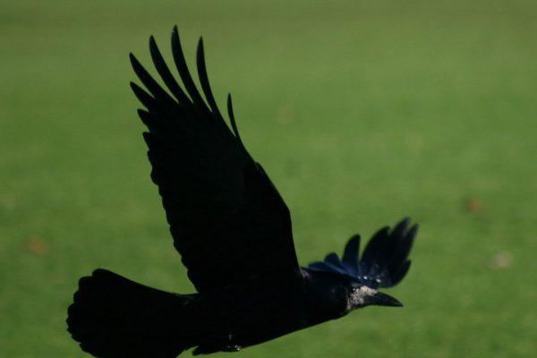 rook-in-flight