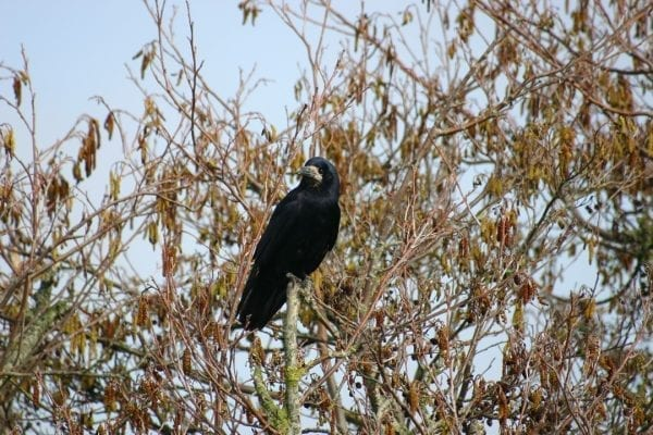 rook-perched-in-alder-tree