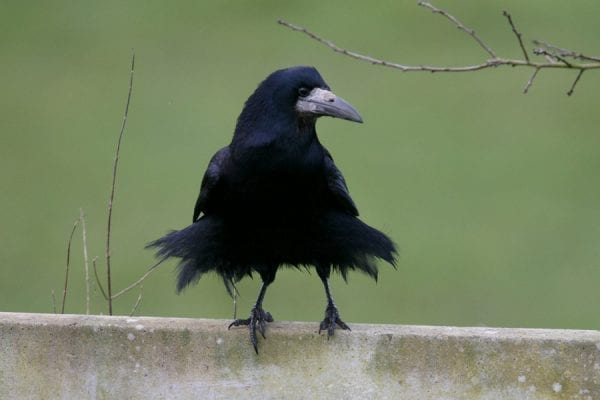 rook-standing-on-fence