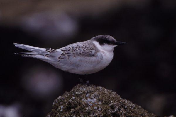 roseate-tern-juvenile-standing-on-rock