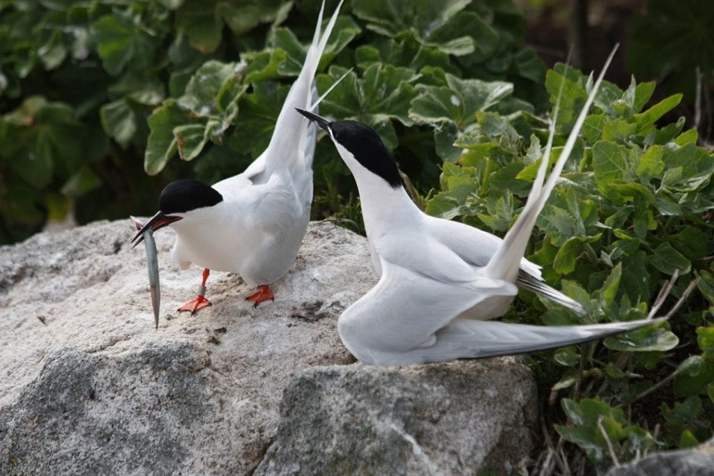 two-roseate-terns-on-rock-one-posturing-to-the-other