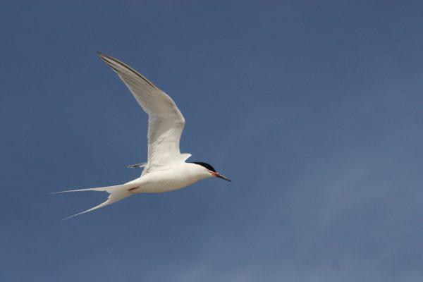 roseate-tern-in-flight-blue-sky-background