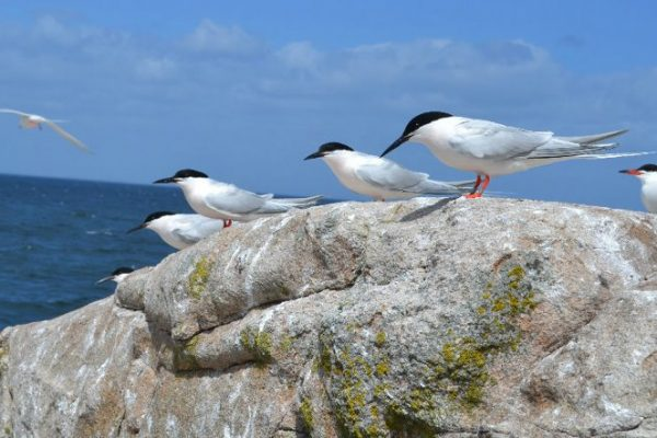 a-number-of-roseate-terns-stand-together-on-a-rock