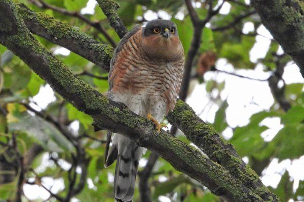sparrowhawk-in-tree-eyes-focused-on-prey