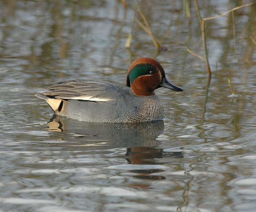 male-teal-swimming