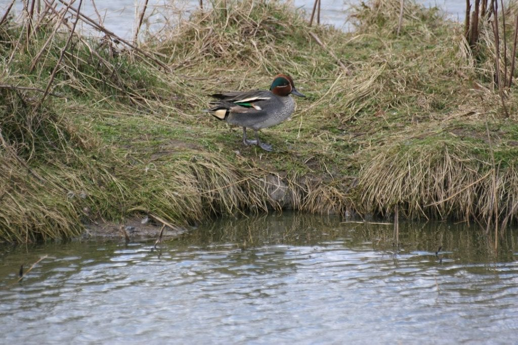 teal-male-on-grassy-bank