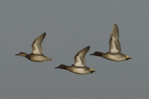 three-teal-in-flight