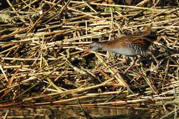 water-rail-walking-across-fallen-reeds-on-lake-shore