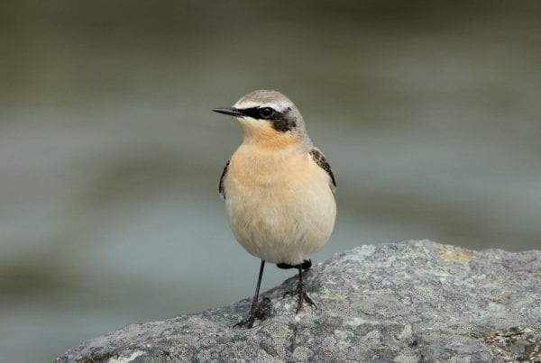 Wheatear-on-a-rock