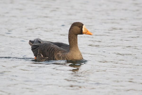 greenland-white-fronted-goose-swimming