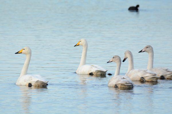 Whooper Swan - B Burke